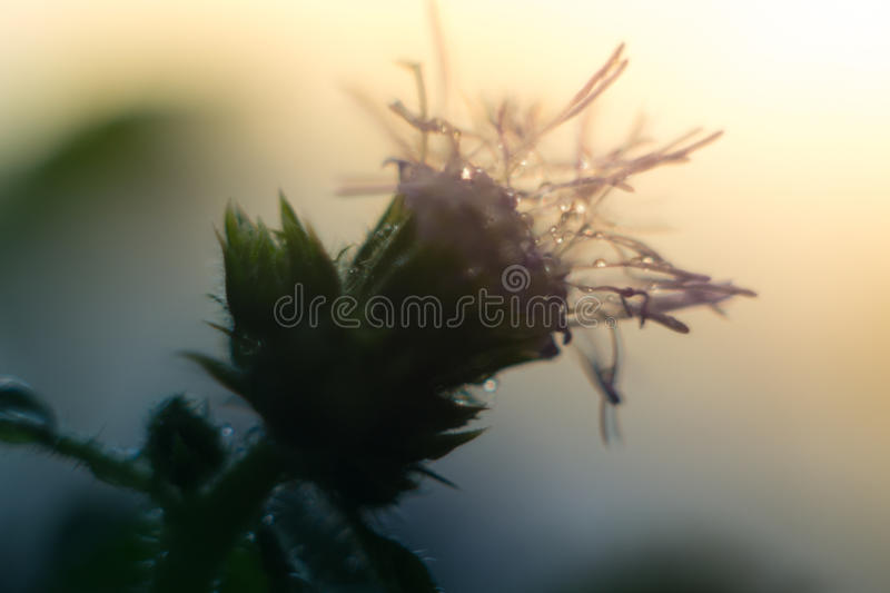 Water droplets on a purple flower in the sunlight.  stock photos