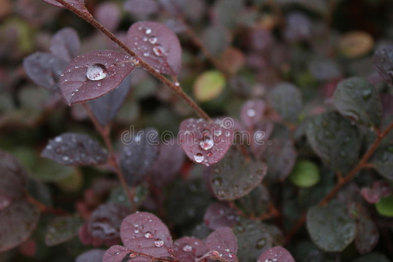 Water Droplets on Purple Leaves. Droplets of water on purple leaves with long stem slanting leaning left stock image
