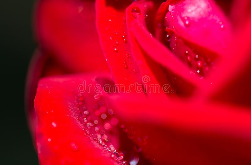 Water droplets on a red rose royalty free stock images