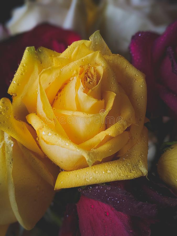 Water droplets on a silky smooth yellow rose stock photography