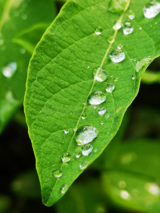 Water droplets on a slender green leaf royalty free stock images