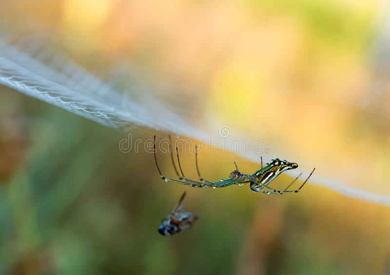 Water droplets on a spider web in nature royalty free stock image