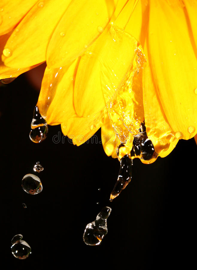 Water droplets on yellow gerber daisy on black stock image