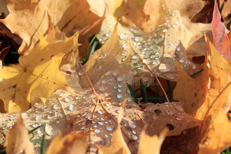 Rain drops on autumn leafs royalty free stock photos