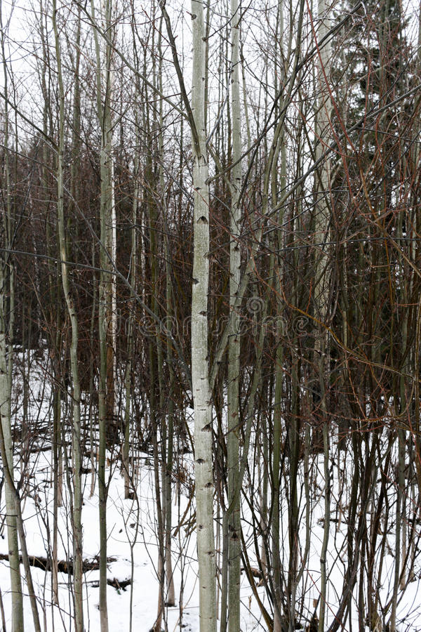 Water drops on bare trunks of aspen trees in forest. stock photography