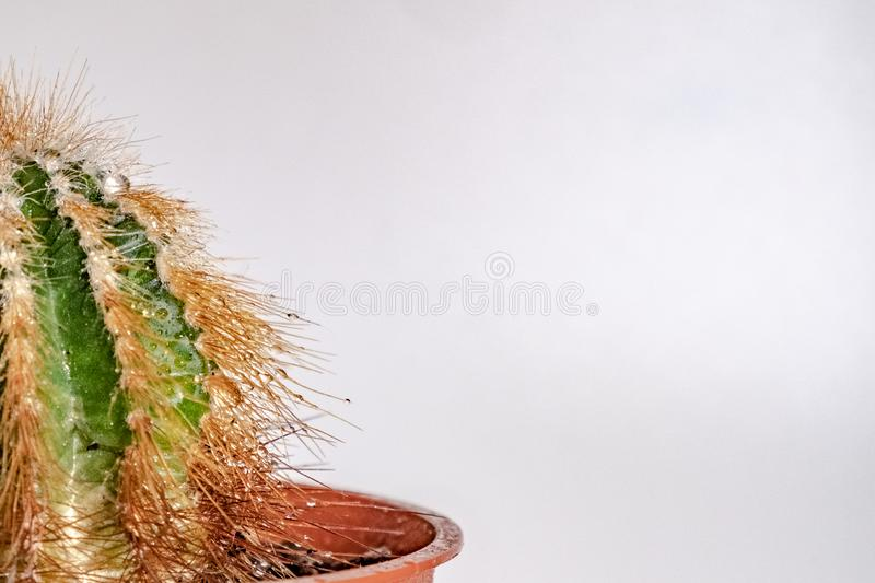 Water drops on a cactus in a pot on a white background royalty free stock image