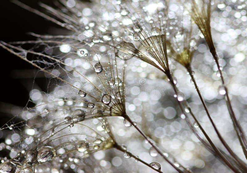 Water drops on dandelion stock photos