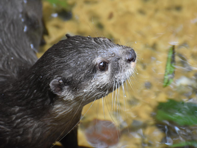 Water Drops on the Face of a River Otter stock photo