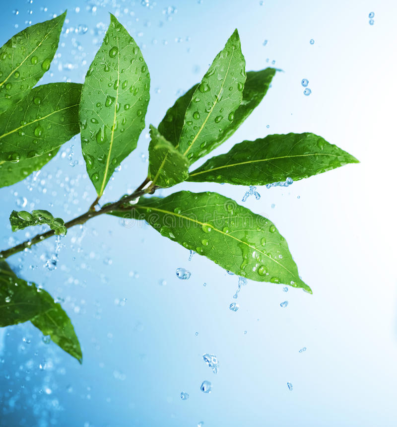 Water Drops And Fresh Green Leaves Royalty Free Stock Images