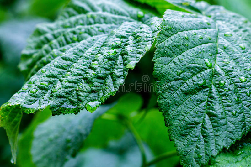Water drops on fresh green leaves stock photo