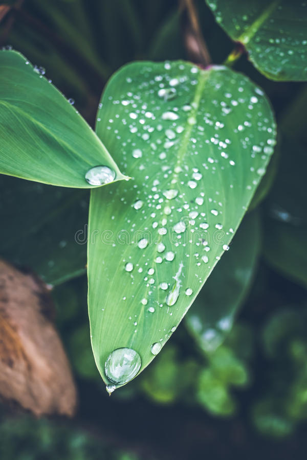Water drops on fresh green tropical leaf. Bali tropics, Indonesia. Fresh green exotic background. royalty free stock photos