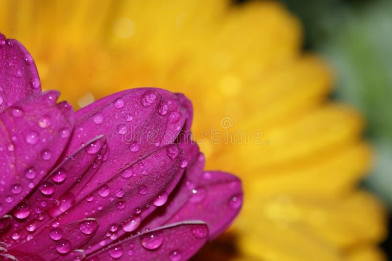 Download Water drops on gerbera stock photo. Image of flower, purple - 39505242