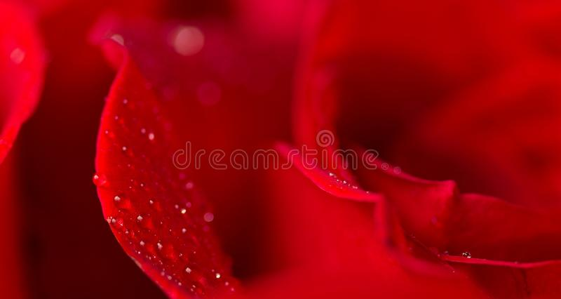 Water drops glisten on the petals of a rose.  stock image