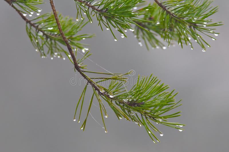 Water Drops On A Green Branch Stock Photo - Image of ...