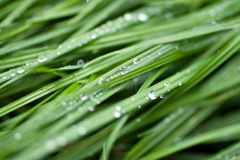 Water drops on green grass leaves.  royalty free stock photo