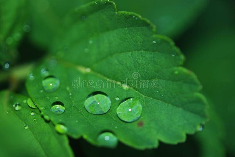 Water drops on green leaf stock photos