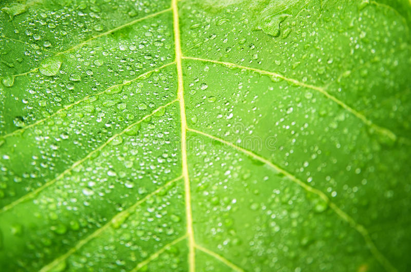 Water drops on green leaf stock photography