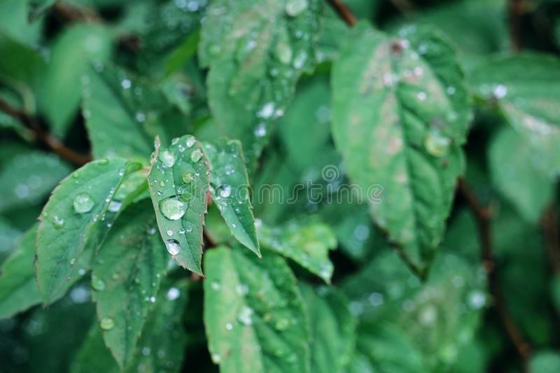 Water drops on a green leaf of a plant royalty free stock image