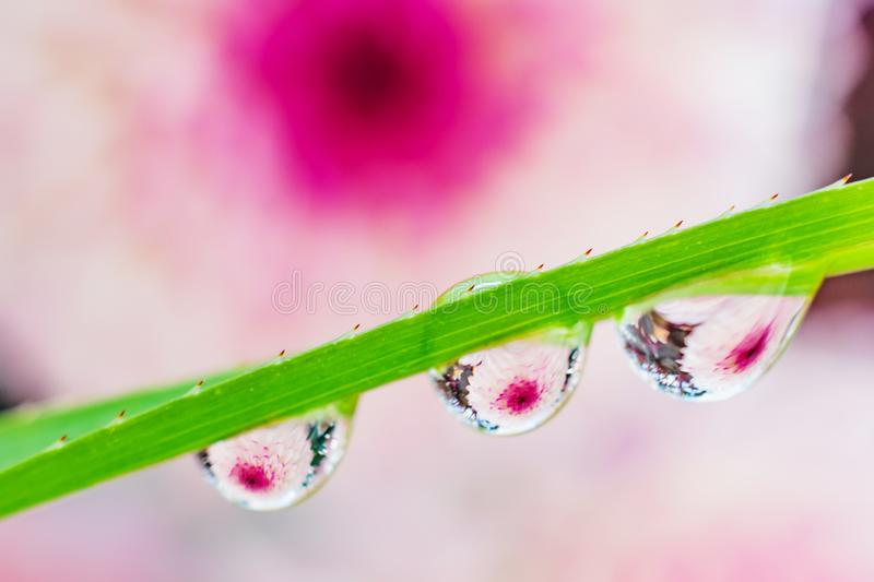 Water drops on a green leaf of a plant. The drops reflect the purple-pink flower. stock image