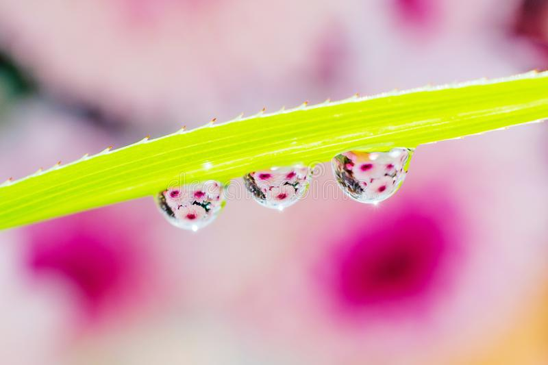 Water drops on a green leaf of a plant. The drops reflect the purple-pink flower. royalty free stock image