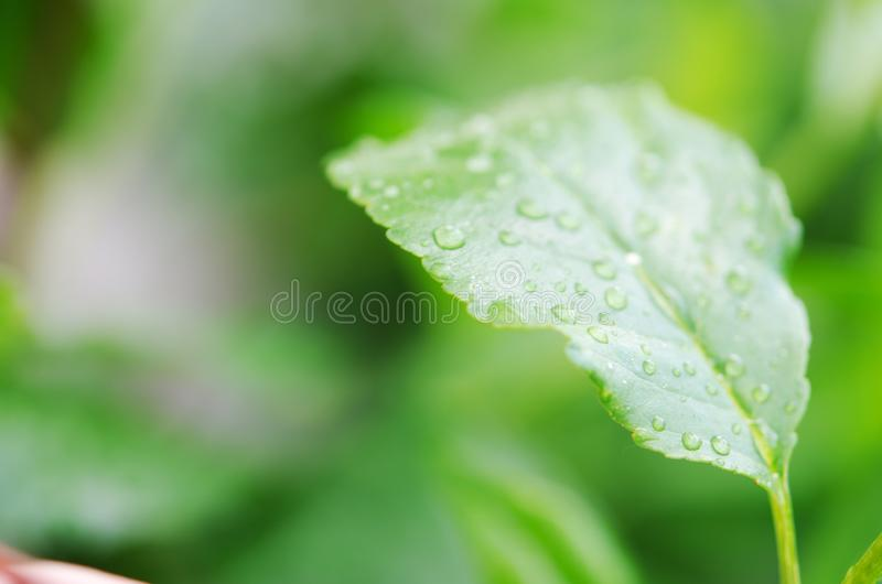 Water drops on the green leaves. Macro photography. Image royalty free stock photo