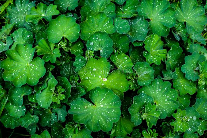 Water drops on a green plant Alchemilla lady`s mantle after rain in the garden, top view. Water drops on a green plant Alchemilla lady`s mantle big shrub after stock photography