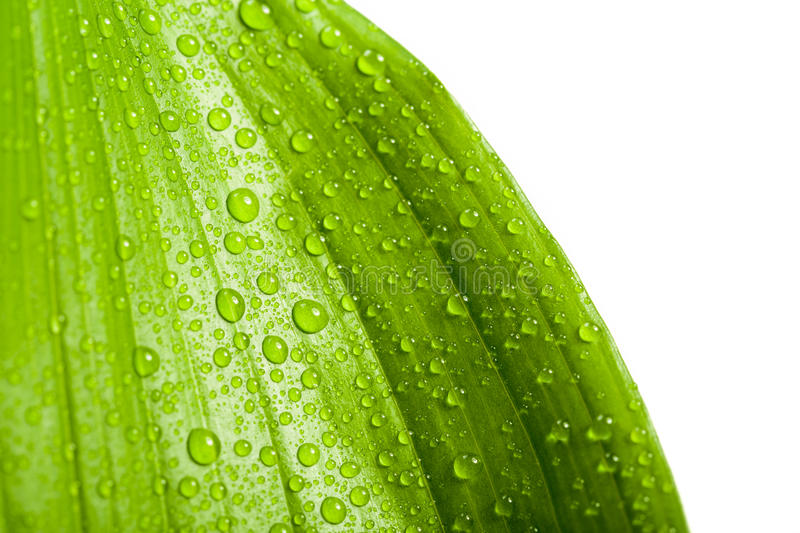Water drops on green plant leaf. Macro water drops on green plant leaf for natural background, wallpaper or backdrop use royalty free stock images