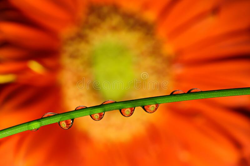 Water drops on a green twig of a plant. The drops reflect orange flowers of the gerbera. Focus on water drops, the flower in the b stock photography