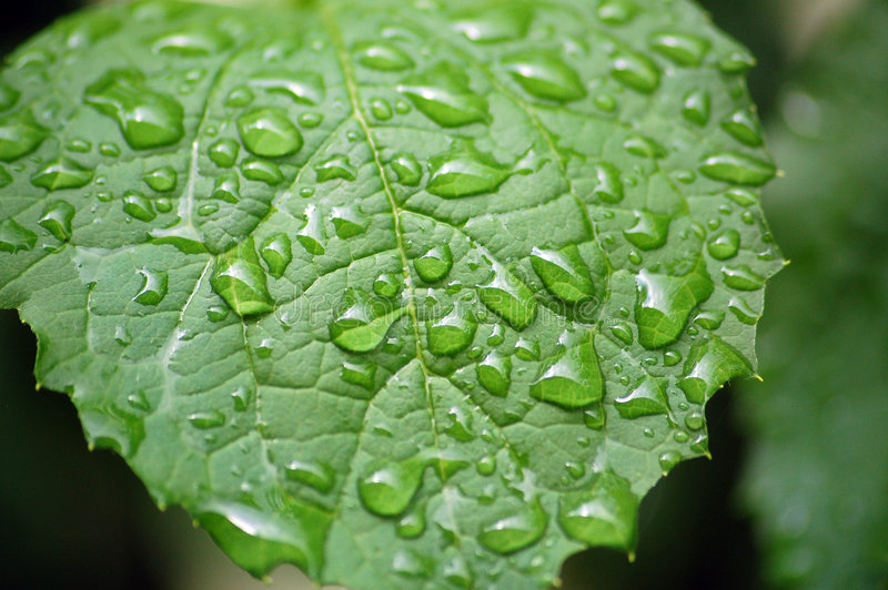 Water Drops On Jasmin Leaf Royalty Free Stock Images