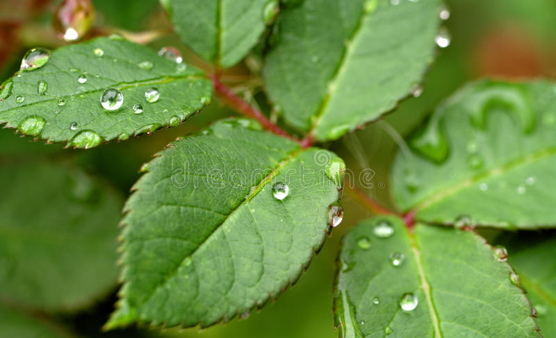 Water drops on leaves. Great image of water drops on leaves royalty free stock photography
