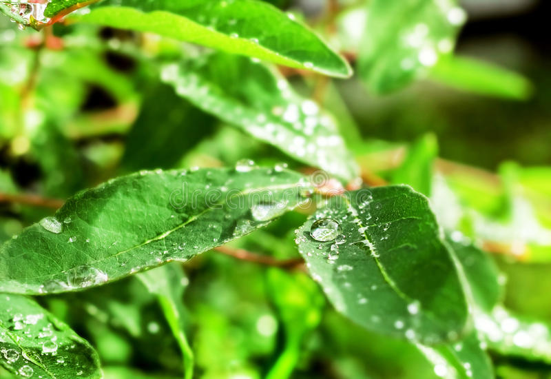 Water drops on leaves. Clear rain water drops on leaves at summer morning royalty free stock images
