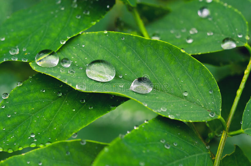 Water drops on leaves. Water drops on green leaves during rain royalty free stock images