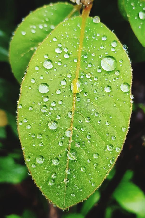 Water drops on leaves in morning. Droplet, dew, wet, rain, raindrop, rainy, green, freshness, nature, outdoor, close-up, macro, environment, leaf, botany royalty free stock photos