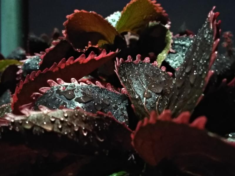 Water drops on leaves after rain droplets. Macro view of the water drops on fresh leaves after rain droplets at night with a beautiful environment royalty free stock image