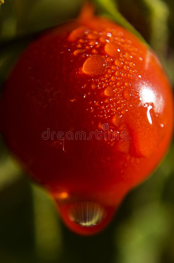Water drops make patterns on ripening tomatoes after a rain. Sunlight glints off water drops on ripening tomatoes after a rain. Fall approaches and the harvest royalty free stock photos