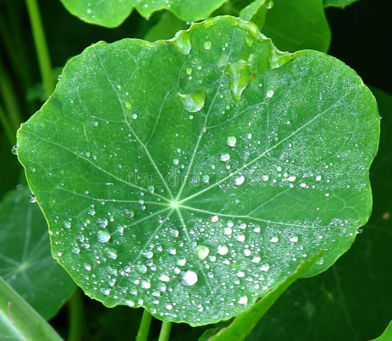 water drops on nasturtium leaf stock photography