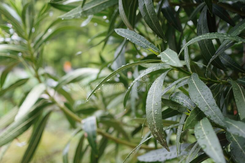 Water Drops on Oleander Leaves in the Rain. Close-up macro view of a water drops on oleander leaves during the rain stock image