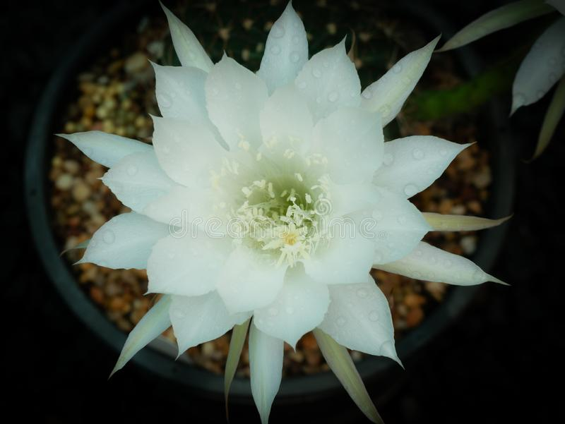 Water Drops Perched on The White Cactus Flower royalty free stock photo