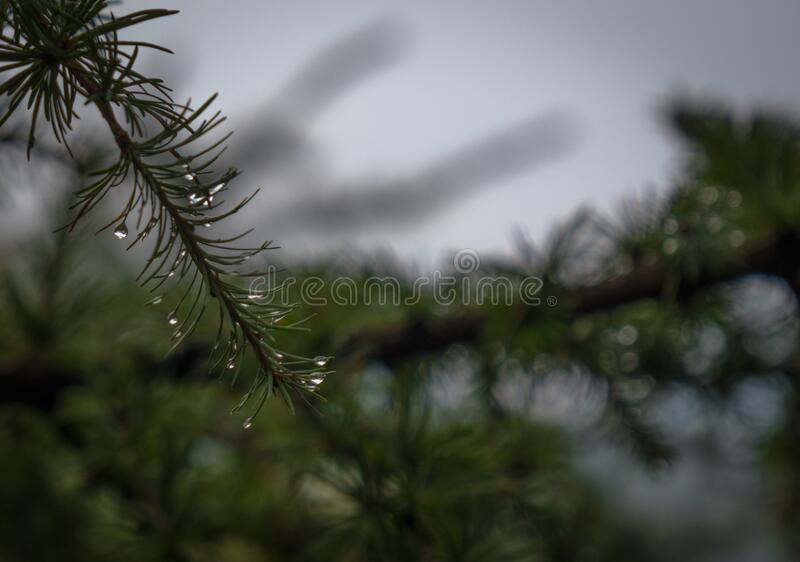 Water drops on pine leaves pinus radiata. Defocused branches in the background royalty free stock photos