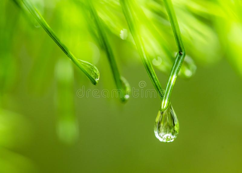 Water drops on pine needles. On green background close-up macro royalty free stock photos