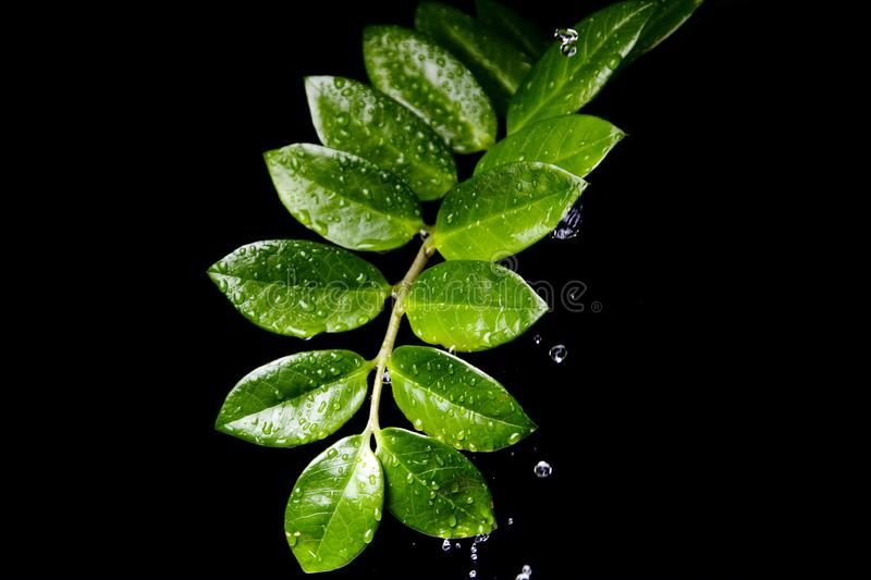 Water Drops on  Plant Leaf royalty free stock image