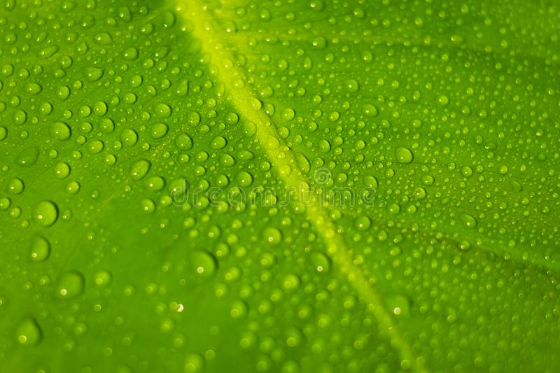 Water drops on plant leaf macro - dew droplets on leaves closeu royalty free stock photo