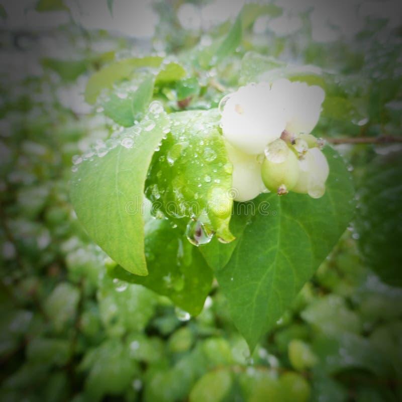 Water drops on plants of green Alaska. Beautiful water drops on a plant in Alaska royalty free stock photography
