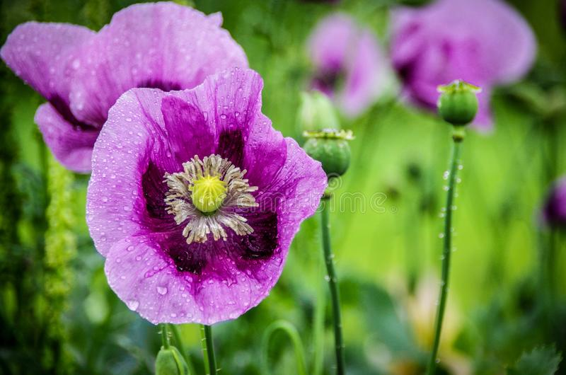Water drops on purple dandelion flowers stock images