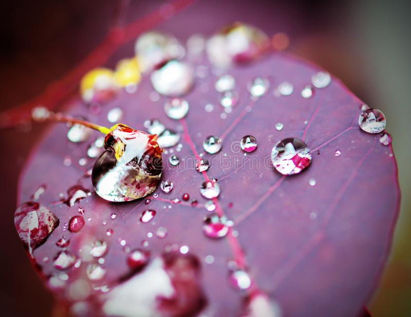 Water Drops on Purple Plant Leaf. Water drops on a purple plant leaf - COTINUS coggygria Royal Purple. Picture taken June 2015 stock photography