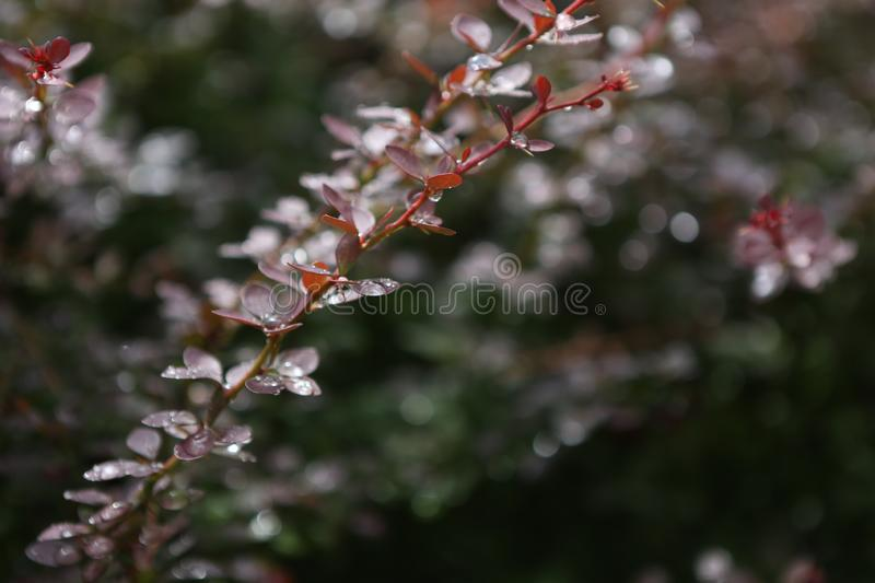 Water drops after rain branch red bush leaves. Water drops after rain on a branch with red bush leaves, leaf, flora, season, closeup, beautiful, botany, organic royalty free stock photo