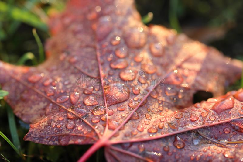 Water drops on read autumn maple leaf in the garden. Warm yellow lighting. And sunny weather royalty free stock images