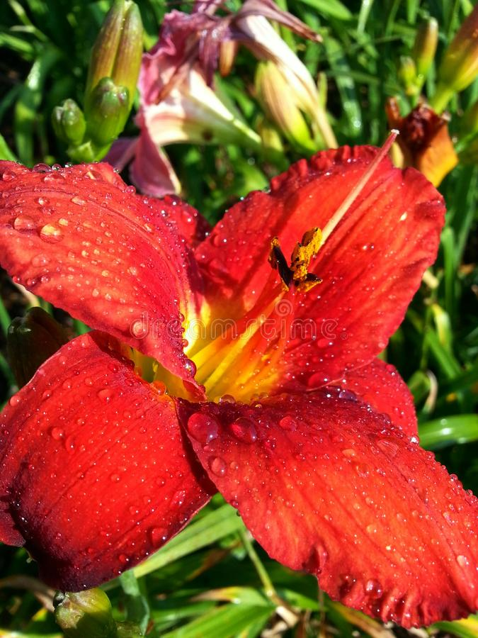 Water Drops on Red Lily royalty free stock images