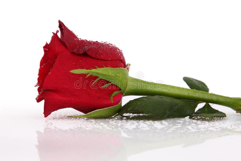 Download Water Drops On Single Red Rose Stock Image - Image: 29063251