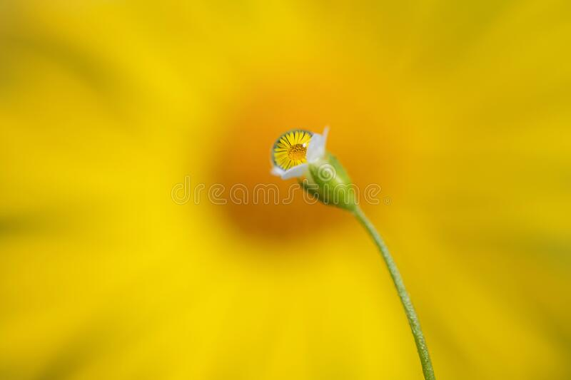 Water drops on small white flower. The droplets reflect the yellow camomile, which is in the background. The camomile is blurred, and water drops with royalty free stock photo
